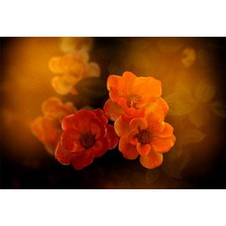 ポストカード【橙花】*b_c