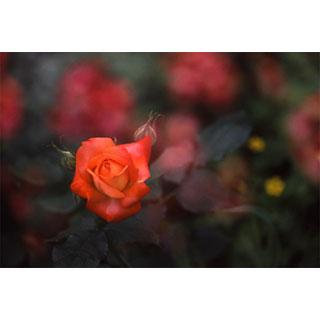 ポストカード【紅い薔薇】*b_c