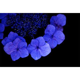 ポストカード【黒に浮かぶ青い紫陽花】*b_c