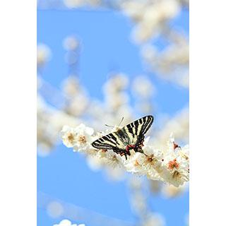 ポストカード【春の妖精〜ギフチョウと白梅】* 輝く小さな命たち