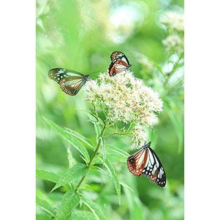ポストカード【高原の渡り蝶】* 輝く小さな命たち