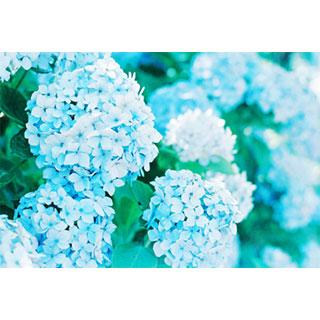 紫陽花*Time of the picture